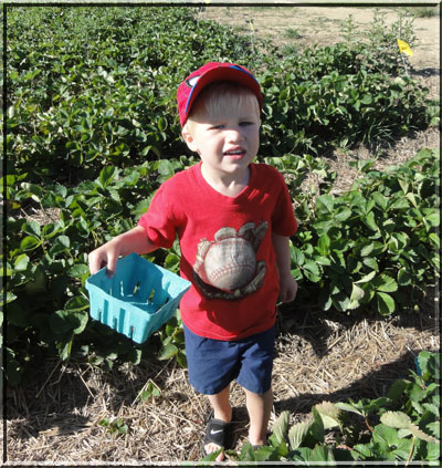Carter strawberry picking